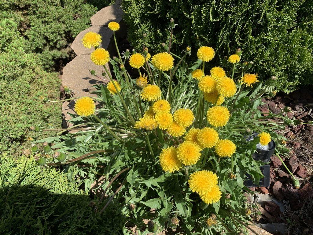 Dandelion weed control fertilizer Papillion Nebraska