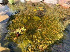 Koi fish in pond Omaha Nebraska